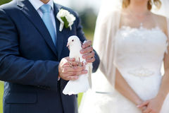 White wedding dove at groom's hands Stock Image