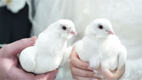 White wedding doves. Wedding doves handing by a couple stock video footage