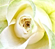 White wedding rose Royalty Free Stock Images