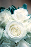 White wedding roses. A closeup view of white wedding roses in a special bouquet with a blue tone or effect added Stock Photos