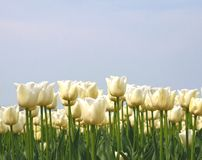 White tulips in a blue sky, agriculture in the Dutch Noordoostpolder, Netherlands  Royalty Free Stock Photos