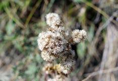 White weed flowering closeup Stock Photos