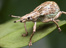 White Weevil Stock Image