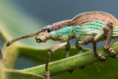 White Weevil Stock Photo