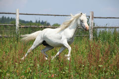 White welsh mountain pony stallion running Royalty Free Stock Image