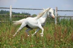 White welsh mountain pony stallion running Royalty Free Stock Image