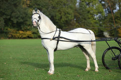 White welsh mountain pony standing Royalty Free Stock Images
