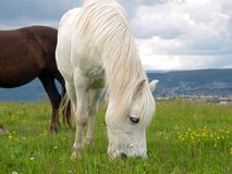 White Welsh Pony. White Grey Welsh Mountain Pony Royalty Free Stock Images