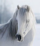 White Welsh pony Stock Photo