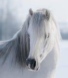 White Welsh pony. Portrait of white Welsh pony on snow field Stock Photo