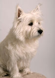 White West Highland Terrier. Studio portrait of a White West Highland Terrier or Westie royalty free stock photos