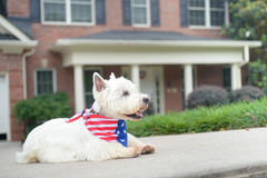 White west highland terrier in american flag scarf on driveway of luxury house. White west highland terrier dog in american flag scarf waiting on driveway of Royalty Free Stock Image
