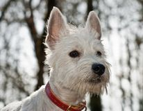 White west highland terrier dog. Close up in front of white background stock images
