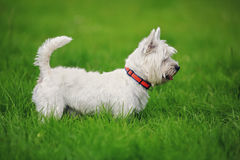White West Highland Terrier dog royalty free stock images