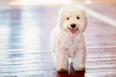 White West Highland White Terrier Westie, Westy Royalty Free Stock Images