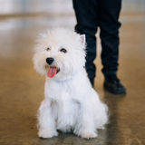 White West Highland White Terrier - Westie, Westy Stock Image