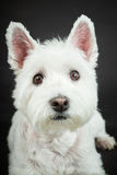 White Westhighland westie terrier Royalty Free Stock Photo