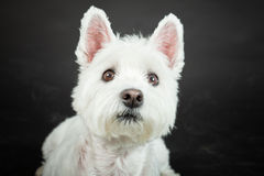 White Westhighland westie terrier Stock Images