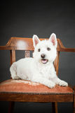 White Westhighland westie terrier Royalty Free Stock Photography