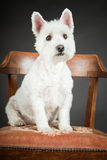 White Westhighland westie terrier Stock Photo