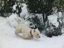 White Westie dog in snow in front of bushes with berries stock photography