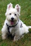 White Westie on grass Royalty Free Stock Photos