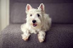 White westie puppy Stock Images