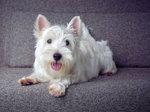 White westie puppy. A white westie puppy seating on a grey coach Royalty Free Stock Images