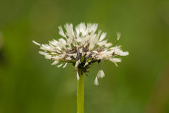 White wet fluffy dandelion after rain on natural floral background. Stock Photography