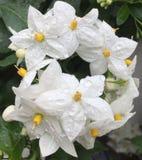 White wet solanum Royalty Free Stock Image
