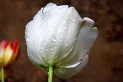 White  wet tulips detail. The white wet tulips detail Royalty Free Stock Photography