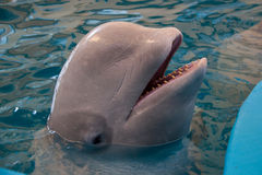 White whale Royalty Free Stock Images