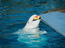 White whale. Is playing with color ball Stock Images