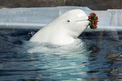 White whale Royalty Free Stock Photo