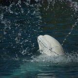 White whale. Or Beluga whale (Delphinapterus leucas royalty free stock image
