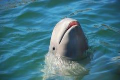 White whale in sea Stock Photo
