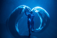White whale show. In SunAsia ocean world, Dalian, China royalty free stock image