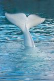 White whale tail. In water royalty free stock photography