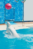 White whale in the water in  pool Dolphin Stock Photo