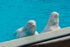 White whale in the water in  pool Dolphin Royalty Free Stock Images