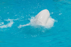 White whale in the water in  pool Dolphin Royalty Free Stock Image