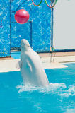 White whale in the water in  pool Dolphin Royalty Free Stock Photography