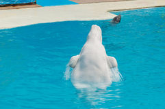White whale in the water in  pool Dolphin Stock Image