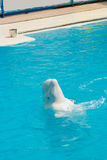 White whale in the water in the pool. Dolphin royalty free stock image