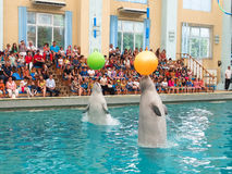 White whales. Are playing with a ball on the show stock photo