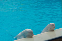 White whales in the water in  pool Dolphin Stock Photos