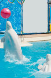 White whales in the water in  pool Dolphin Stock Photo