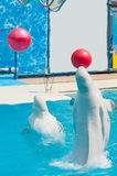 White whales in the water in  pool Dolphin Royalty Free Stock Images