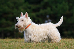 White wheaten scottish terrier, cute dog on green grass lawn Royalty Free Stock Photo