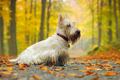 White wheaten scottish terrier, sitting on gravel road with orange leaves during autumn, yellow tree forest in background Royalty Free Stock Photography
